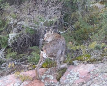 Bobcat at Perrault Lake