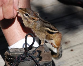 Chipmunk feeding a favorite passtime!