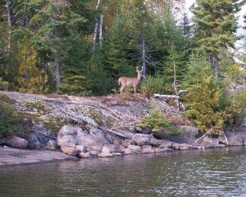 Fall buck on the shores of Perrault Lake