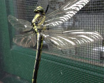 Beautiful Dragon Fly