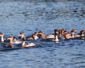Family of Merganser Ducks