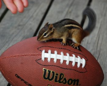 Chipmunk plays football