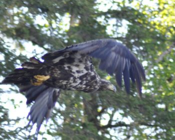 Golden Eagle at Rainbow Point Lodge
