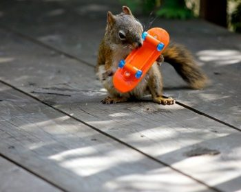 Skater Squirrel