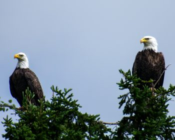 Bald Eagle Pair keeping watch over Perrault Lake