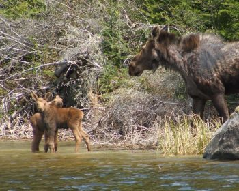 Cow Moose watches over calves on Perrault Lake