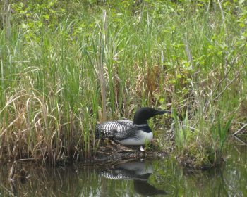 Loon on her Eggs