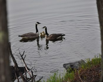 Goose Family at Rainbow Point Lodge